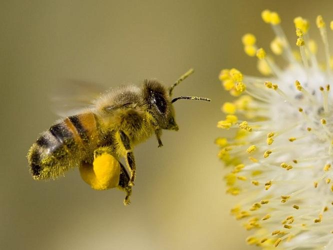 arı poleni karıştırma