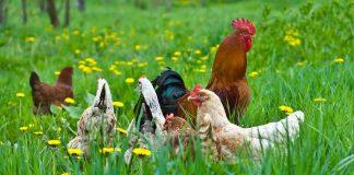 organik tavuk çiftliği kurmak istiyorum